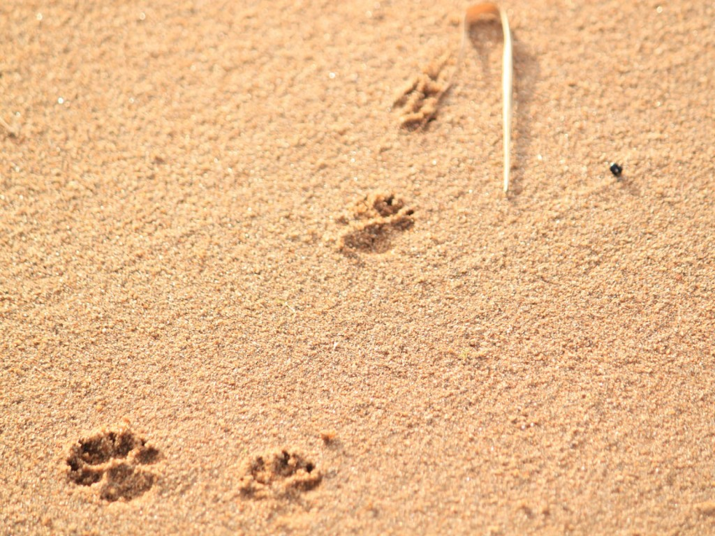 Koiran Jalanjäljet Hiekassa