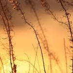 Heinänkorsia Ilta-auringossa