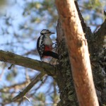 Woodpecker Sitting on the Pine
