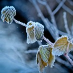 Frozen Leaves on Cold Winter Day