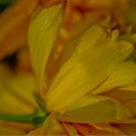 Keltaisia Kukanlehtiä