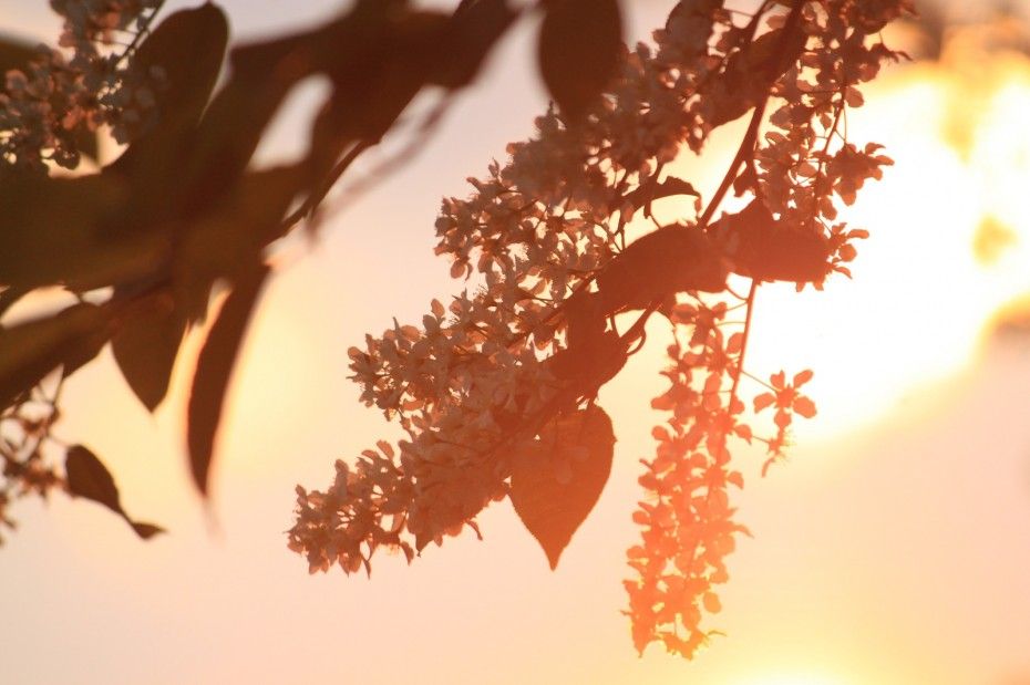 inflorescence at sunset