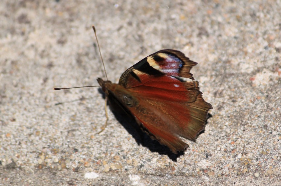 Butterfly on the Stone