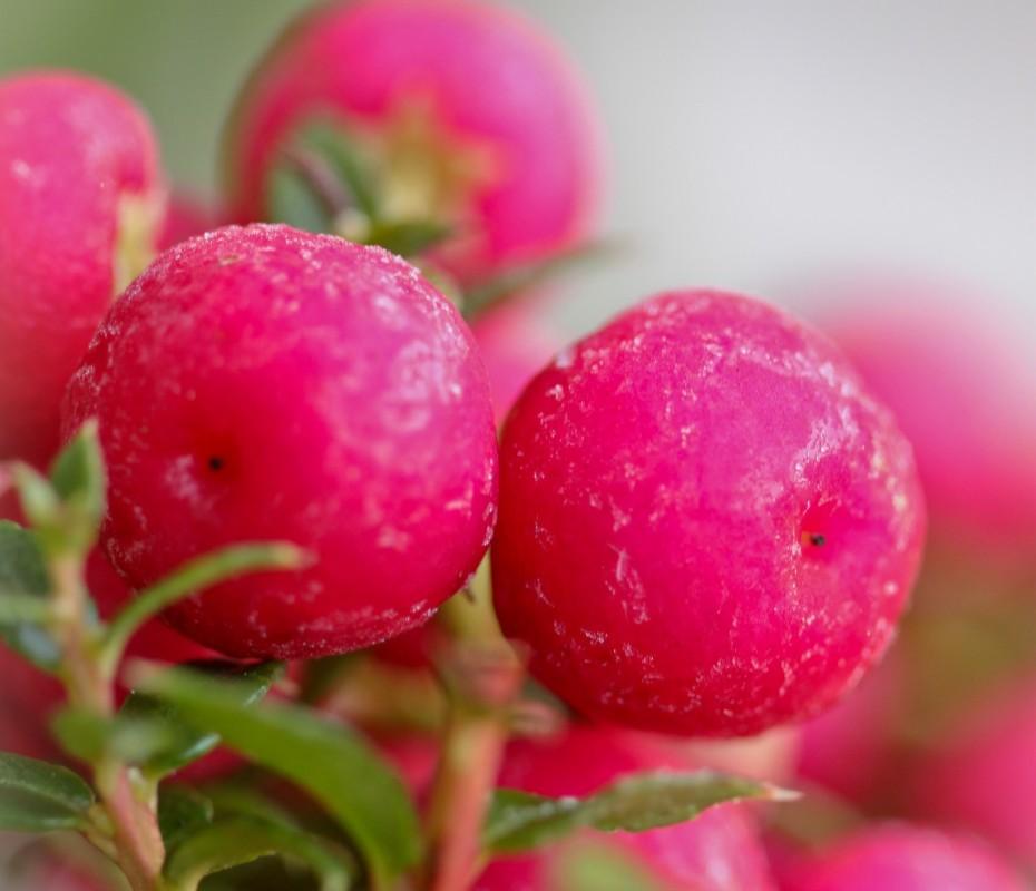 claret-coloured berries